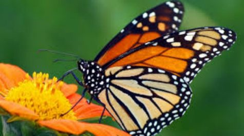 Monarch Butterfly Population Triples After Falling For Years