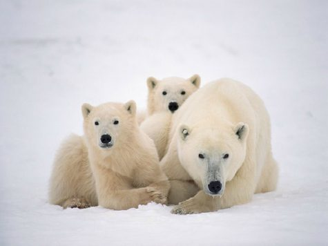 Polar Bears Trap Meteorologists on Island