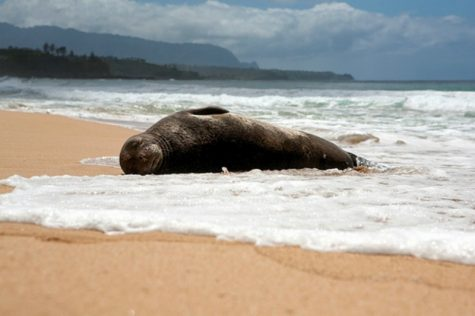 Endangered Hawaiian Monk Seals Make a Remarkable Comeback