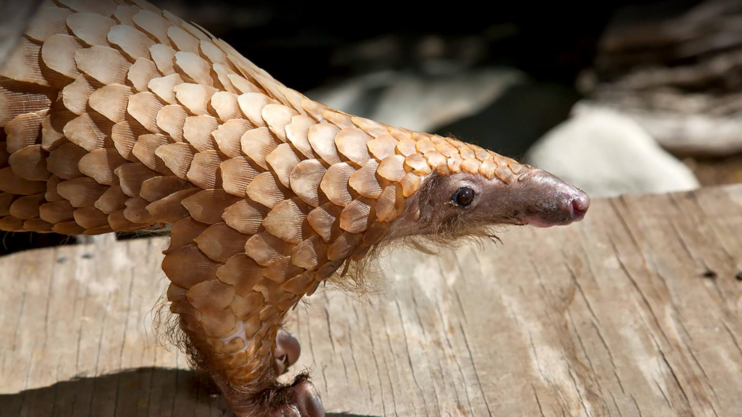 The tree pangolin is one cute and fascinating animal!