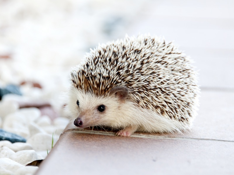 A+small+hedgehog