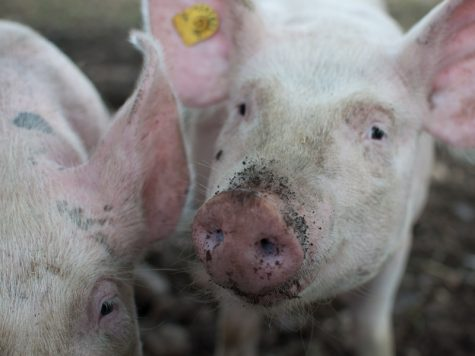 This tech could save millions of piglets from accidentally being crushed