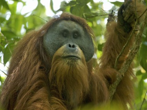 Newest Species of Orangutans Are Already Endangered