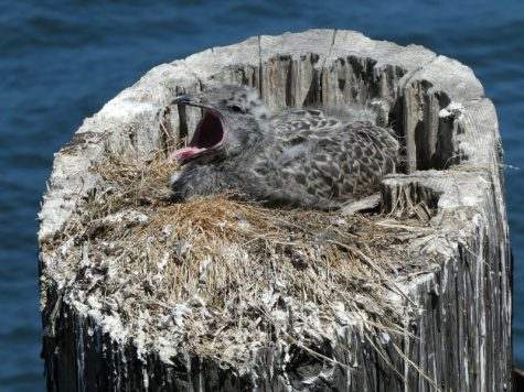 Super-sized Mice Killing Baby Seabirds