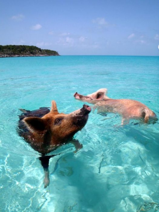 Pigs swimming in ocean.