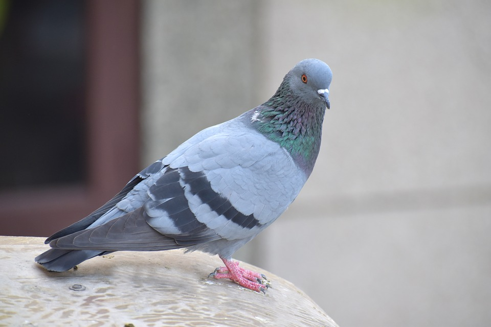 Someone Paid $1.4 Million For This Pigeon