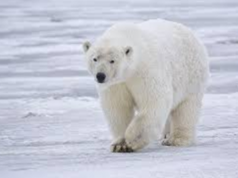 Polar bear walking in the arctic looking for some food to eat.