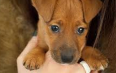 Puppy that looks cute in a person's hands with its paws hanging out.