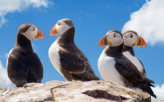 How Fake Birds Helped Restore Maine's Puffin Colonies