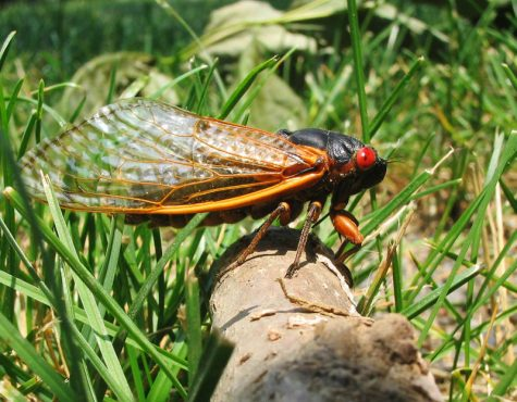 Billions of Brood X Cicadas Expected to Emerge from the Ground