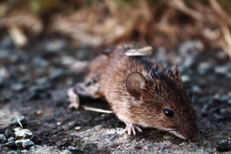 Millions of Rodents Descend on Eastern Australia